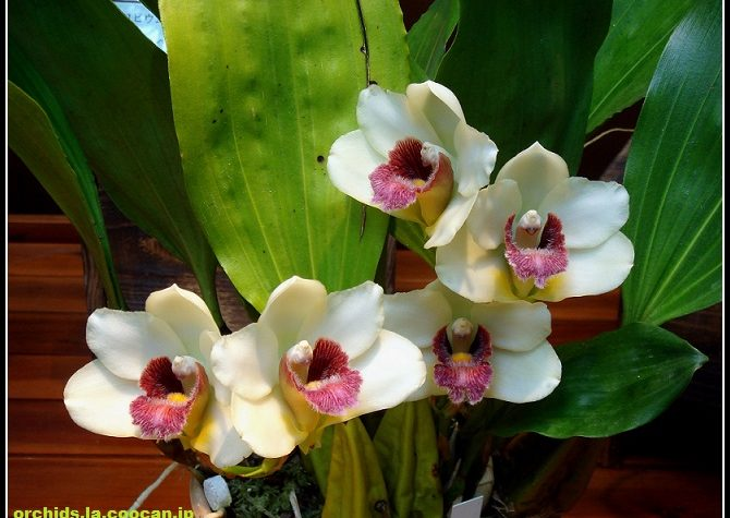 Bifrenaria harrisoniae