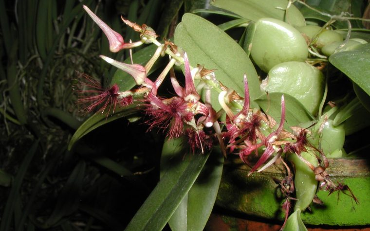 Bulbophyllum barbigerum