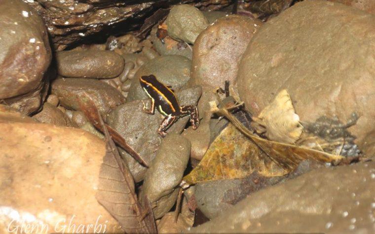Phyllobates lugubris in situ presso Bananito Sur, Limon, Costa Rica – photo Glenn Gharbi