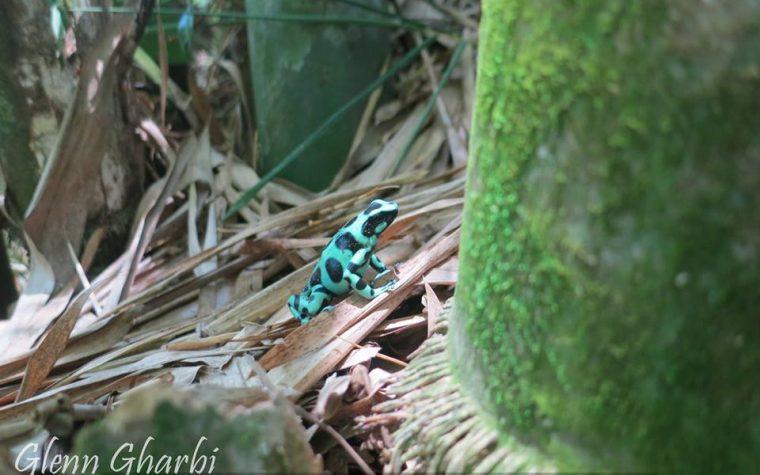 Dendrobates auratus in situ presso Bananito Sur, Limon, Costa Rica