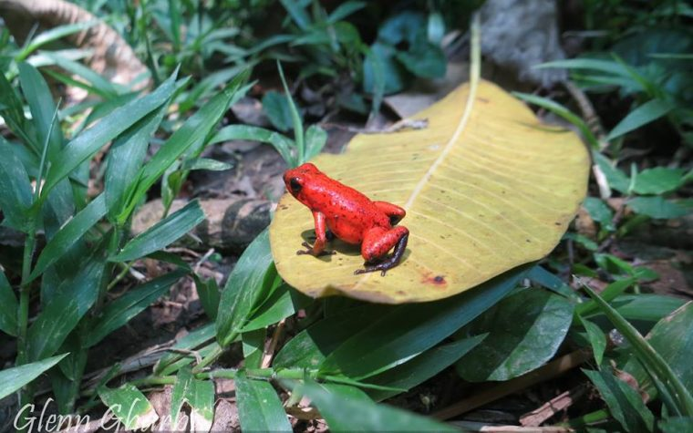 Oophaga pumilio in situ presso Bananito Sur, Limon, Costa Rica – photo Glenn Gharbi